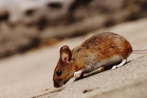 Mice Control, Pest Control in Abbots Langley, Bedmond, WD5. Call Now 020 8166 9746