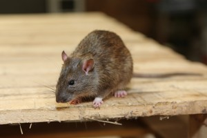 Rodent Control, Pest Control in Abbots Langley, Bedmond, WD5. Call Now 020 8166 9746