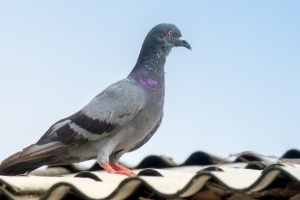 Pigeon Pest, Pest Control in Abbots Langley, Bedmond, WD5. Call Now 020 8166 9746